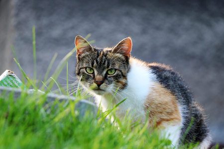 A felis silvestris catus looking on her enemy and waiting for right moment. Green eyes, watchfulness, alertness