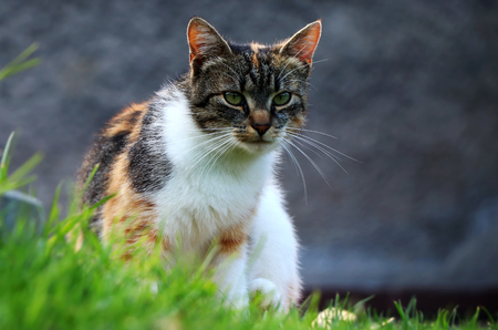 A domestic cat sitting in grass and looking on me for some reason. Is she wants food?
