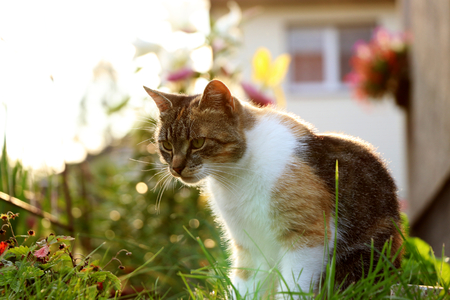 A tabby cat sitting in garden and looking on grass and trying find some thing for playing. Back light, golden light