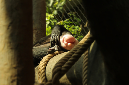 A pink but of chimpanzee lying on big branch. A robust chimpanzee has deserved rest after long day.
