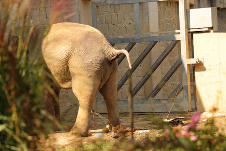 A asian elephant is in need in the park behind bush. We see only butt and excrements on the ground. Stock Photo