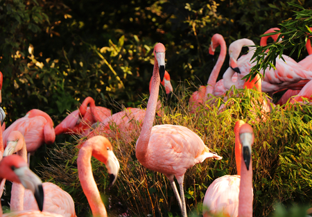 A beautiful animal named American flamingo, Phoenicopterus ruber. One of them standing in the middle of these animals and looking at the camera. Amazing bird. 스톡 콘텐츠