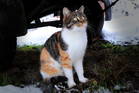 A domestic cat sitting under cart and looking on snowflakes which falling down. Tricolour cat. Brown, black and white.