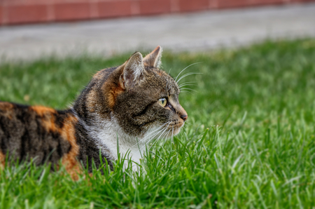 A wonderful, colourful domestic cat lying in the garden and watching some mouses or birds for eating.