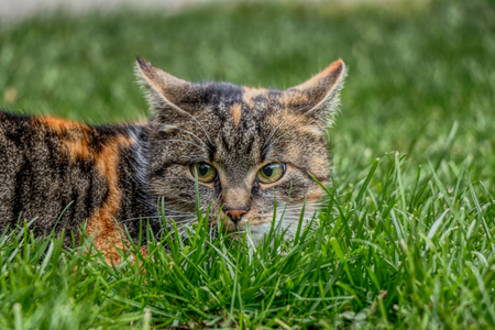 A wonderful domestic cat named Liza hidden in the grass waiting for some entertainment. She has very nice green eyes.