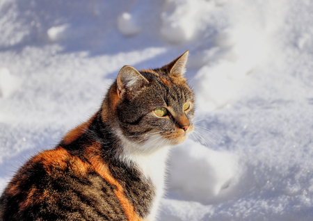 A wonderful colourful cat face. She is watching some actions on the garden. Contrast dark and color cat with white snow.
