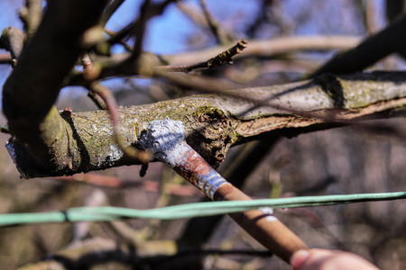 Treatment of the site on branch with the appropriate device. Prevent infection. Paint with brush. Add special matter on cut place. Coat of black latex
