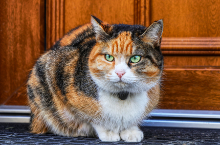 Domestic angry cat sitting in front of entry door. Kitten is pissed off. Colourful Felis catus waiting on open door. Angry cat face. Green eye. Cat has small bell around neck.