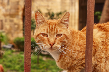 Wild redheaded kitten sitting behind brown iron fence and watchs me. Funny cat face looks throught iron sticks. Angry animal head