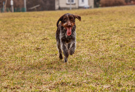 Domestic animal dog, Bohemian wire or griffon, runs along field and meadow with full energy. She enjoys this moment when she is free. Stock Photo