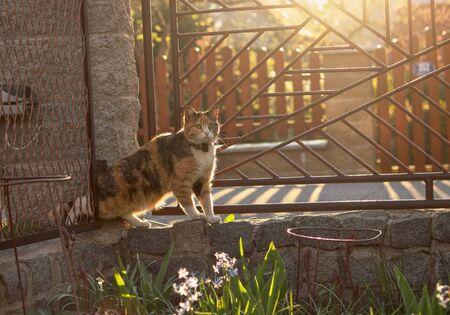 Leise kriechende Hauskatze versucht durch den engen Raum zwischen Zaun und Steinsäule in unseren Garten zu gelangen. Wunderschöner Felis Catus auf den Vorderbeinen bei Sonnenuntergang. Standard-Bild