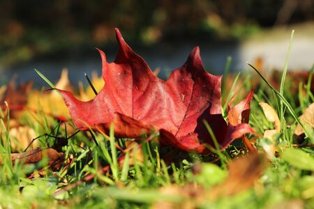 Piece of amazing canadian nature in one small beautiful red marple leaf. Acer on the ground. Exemplary image of autumn. Marple leaf is lies on tthe ground between others leafs.