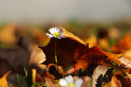 Small touh of autumn. Bellis perennis slowly pushing through the leaf to light. White daisy covered by brown maple leafs. Autumn is knocking on the door Stok Fotoğraf