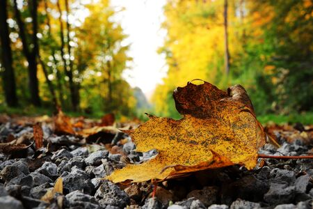Black spotted yellow marple leaf on gravel road which surrounded forest, which playing many colors. Pinch of autumn in semptember.