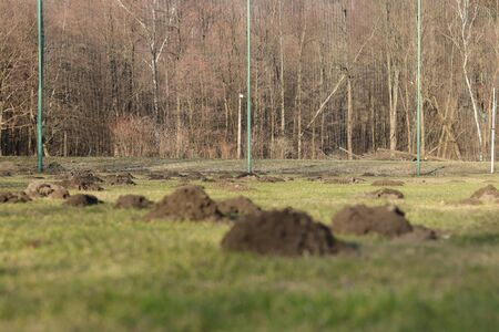 European mole and his family devastate soccer field in czech republic. Scoops of earth are everywhere you see. Hard working animal wanted help to the steward of football field.