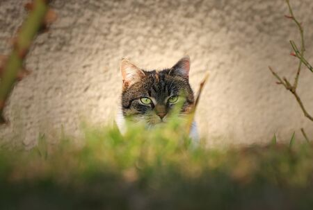 Secret spion in domestic cat disguise on top secret mission at neighborly garden. Important action for earn some information about foreign cat.