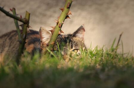Hidden domestic cat behind stem of rose and wild grass and wait for right time for devastate attack. Hunter in action. Prickled up. Kitten is spying other cats. Stok Fotoğraf