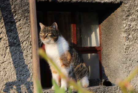 Affectionate domestic cat watch for her best friend and to go somewhere on walk. Obedient kitten is sitting in windowsill where she feels in safe and look out for someone.