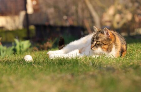 Colored domestic cat relax after plays with  ball in grass. tired kitten warms up on sun. Pedigree cat rest in the garden at sunset.