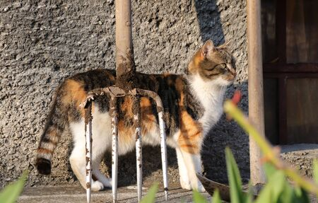 Colored domestic kitten stands on the path and looks into garden. She looking for some fun or action. Cute cat behind garden tool pitchfork.