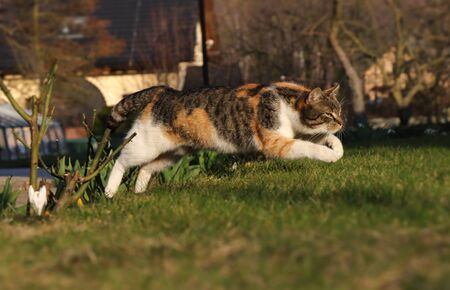 Colored domestic cat jumps over bed of roses to pleasant green grass. Kitten in jump. Long jump. Pedigree young pet spring from back legs and stretched her front legs for better fall