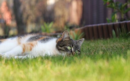 Sad and lonely felis catus domesticus relax in the garden after long hunting in night. Colored kitten warm up on sun and rest on next action.