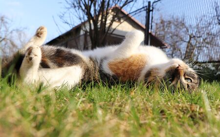 Frolicsome in the garden. Funny movements. Domestic kitten lie around at hot days. Felis catus domesticus warm up her stomach. Cat lounge on wild grass. Stok Fotoğraf