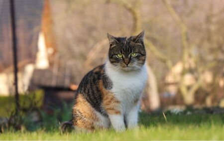 Boss cats is sitting in the middle of garden and giving out commands to her servants. Felis catus domesticus look at camera and do you want get a shoot