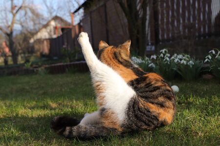Professional stretching on garden after long sport training. Felis catus domesticus pick up her leg and become longer and longer Stok Fotoğraf