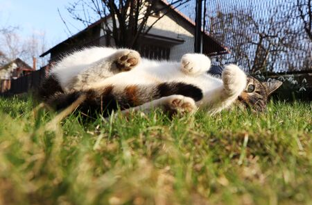 Huge portion of laze in the garden. Our domestic cat named Liza stretching and relaxing on afternoon sun. Frolicsome in wild grass. White paws. Look at camera. Imagens