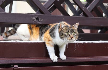 Colored domestic cat trying to pull through the wooden fence to neighbor garden. Curious kitten watch ations on second garden and something earns her attention.