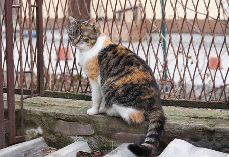 Felis catus domesticus with striped fur sitting on low wall created stones and mortar. Colored cat watchs her territory and guarding. 스톡 콘텐츠