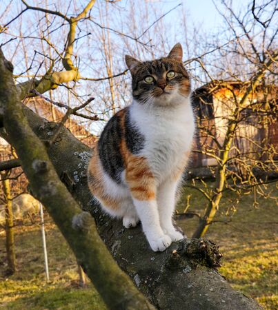 Inquires and adorable cat sits on thick branch of apple tree at the garden at sunset in autumn times. The best friend of human. Absolutely perfect stability and accuracy of kitten.