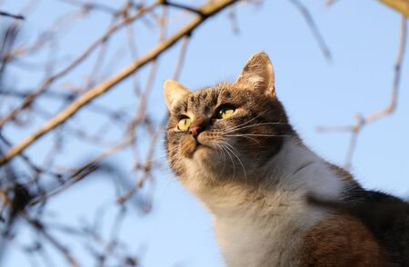 Domesticated cat face at hunting. Focused and lusty face of felis catus domesticus. Cat with colored head is tries to catch a bird for snack. She walks very quietly. Kitten Can she catch or not 写真素材