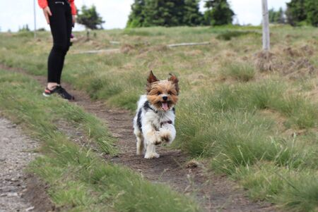 Cute Biewer Terrier runs to one owner to other. Biewer Yorkshire a la Pom Pon in move. Special dog race located in europe. Head of Yorkshire Terrier and body of some hybrid. Agility is his favorite.