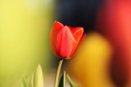 Wondeful red tulip between two yellow. Typical tulipa in shadows of red, yellow. Detail on one simple blossom between many. Choose right. Summer flowers. Valentine´s gift. Love emotion.