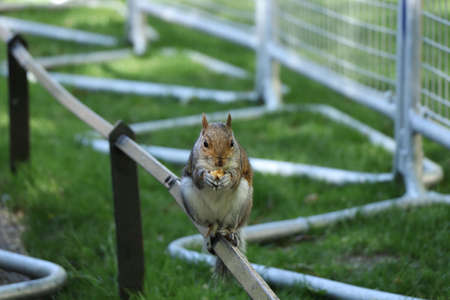 Fearless sciurus carolinensis sits on rail and eats nuts. Domestic squirrel watch people and eats her sweet. Helpful paws she dismantles a nut. Hyde park, London, united kingdom. Stock Photo
