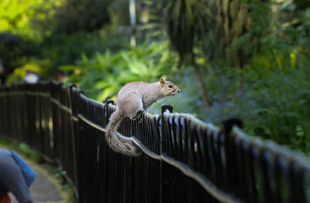 Sciurus carolinensis jump from one handrail on another in Hyde park, London - capital city of England. Grey Squirrel looks into a wild and waits for order.  Connection and coexistence.