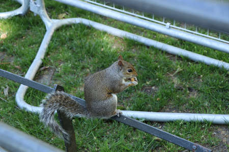 Fearless sciurus carolinensis sits on rail and eats nuts. Domestic squirrel watch people and eats her sweet. Helpful paws she dismantles a nut. Hyde park, London, united kingdom. coexistence.