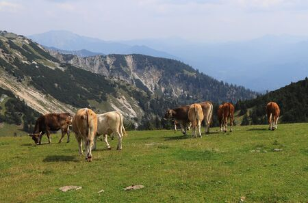 Herd of Pinzgauer cattle grazes on the Hochkar mountain with an incredible and soothing view of the rest of the Austrian Alps. Organic product, the freshest and highest quality milk