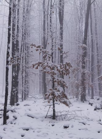 Poor tree between big and stout brothers. The small deciduous tree tries to keep in huge rivality. White mist, sad and sad mood. Winter mood. Stock Photo
