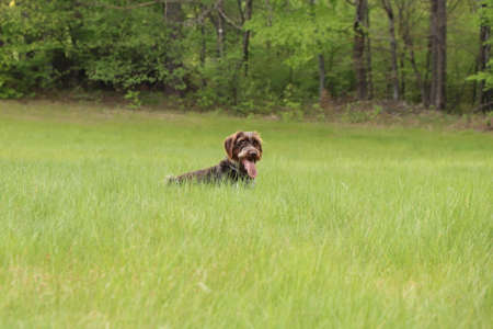 Barbu tcheque likes free movement around the land and keeps in great condition. He crawls into all corners and tries to find every rodent shelter. Hunting. Speed. Agility, socialization.
