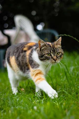 Cute feline walks like a model on the catwalk. European kitten with green eyes runs around garden in high grass. Czech republic. Felis catus domesticus in park. Defend the territory.