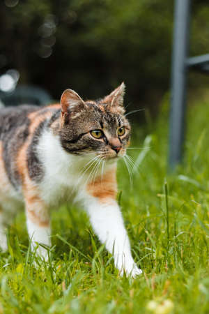 Wonderful colorful domestic kitten walks around garden following her owner. Young curious felis catus domesticus on his wanderings around the world. European feline. Czech republic.