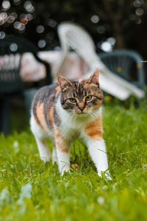 Little queen explores the territory looking for potential enemies. Felis catus domesticus with green eyes walks in high grass. Enjoy freedom. Mother Nature. Czech republic. Europe.