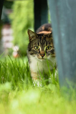 Young predator looks around for its prey. The unbiased view turns into a beast's view in a second. Felis catus domesticus walks. Colorful kitten steps on slowly. Czech republic, europe. Stock Photo