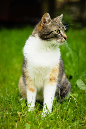 Young domestic cat with a colored head and green eyes looks around the garden to see if she is safe. She protects his territory. Ready to hunt. Dangerous situation. Predator.