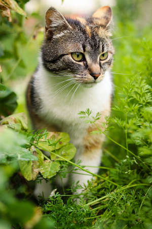 Small scout walks through the tall grass and raspberries and watches what is happening in the garden. Ready to jump on your prey. Feline walks around the garden. Biased expression. Stock Photo