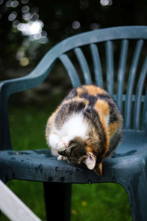 cat cleans its fur from fleas and other garbage. The princess cleans her dress. Daily routine of dusting the fur. Felis catus domesticus sitting on a plastic chair.