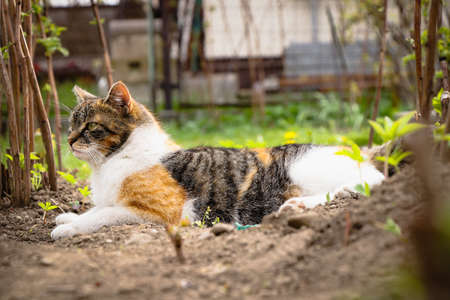 Colorful domestic cat rests in the dirt between flowerbeds and watches the garden. Felis catus domesticus lies on his stomach and spends food.